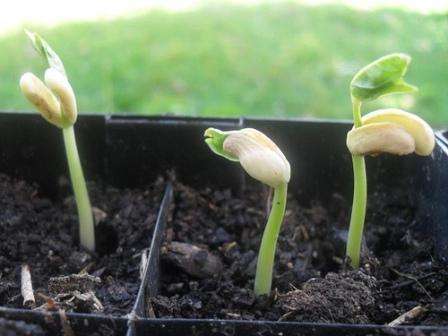 pak choi planting instructions
